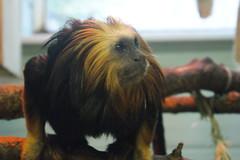 Golden-Headed Lion Tamarin (tim ellis) Tags: uk animal zoo monkey primate tamarin twycrosszoo newworldmonkey leontopithecuschrysomelas goldenheadedliontamarin liontamarin