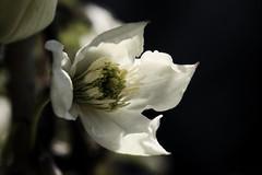 Clematis (Ginny Griffin) Tags: white yard garden spring blossom clematis vine minimal wonderfulworldofflowers