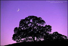 Crescent Moon over Oak Tree in Evening (enlightphoto) Tags: california sky moon tree nature horizontal landscape outdoors evening still twilight oak quiet purple natural time dusk peaceful environment strength enduring endurance oaktree stillness lunar tranquil timeless crescentmoon santaclaracounty colorphotoaward superaplus aplusphoto garycrabbe enlightenedimages enlightphotocom platinumheartaward