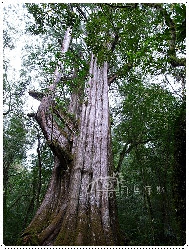 司馬庫斯巨木 (14)