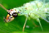 Green Lacewing (xbn83) Tags: macro green closeup bug insect photography flying leaf eyes nikon small tiny lacewing macrophotography d90 r1c1 tokina100mmf28atxprod tokina100mmf28 nikond90club