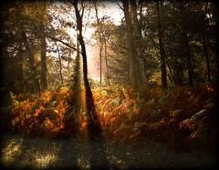 Wiehlsiefen - autumn lights (NPPhotographie) Tags: wood morning autumn light fab sun tree art fall forest sunrise germany creative oberberg soe abigfave platinumphoto theunforgettablepictures platinumheartaward vanagram artofimages bestcapturesaoi