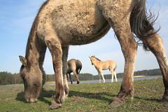 Polish Pony, Roztocze National Park, Poland (Mariusz Cieszewski) Tags: horses horse nature nationalpark poland polska nationalparks konie wildhorses wildhorse ko konikipolskie konikpolski roztoczaskiparknarodowy roztoczenationalpark polishpony