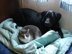 Katie Oops 3-29-09 (3) (jenpilot) Tags: dog cat katie blacklab oops