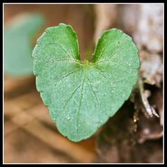 Heart Leaf.1 (tab.itha) Tags: macro nature heart naturalshapes 100mm28macro canonrebelxti naturemadeheart