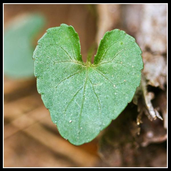 Heart Leaf.1