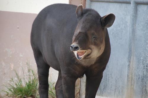 Laughing Tapir