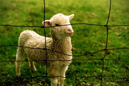 フリー画像| 動物写真| 哺乳類| 羊/ヒツジ| 子羊|       フリー素材|