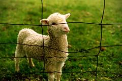 [フリー画像] [動物写真] [哺乳類] [羊/ヒツジ] [子羊]       [フリー素材]