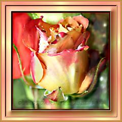 Olivia's Colors (Rebel XT Shots / Bobbie) Tags: rose frame rebelxt photoart