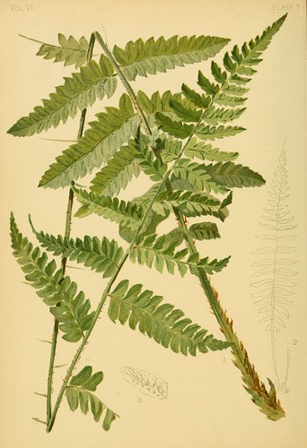 Goldies Shield-Fern
