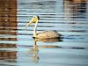 Pelican 2 (CLICK GROUP معين الشريف Moeen) Tags: nikon saudiarabia معين jazan gizan السعودية نيكون الشريف المملكةالعربيةالسعودية جيزان d40x جازان thewonderfulworldofbirds الهويدي