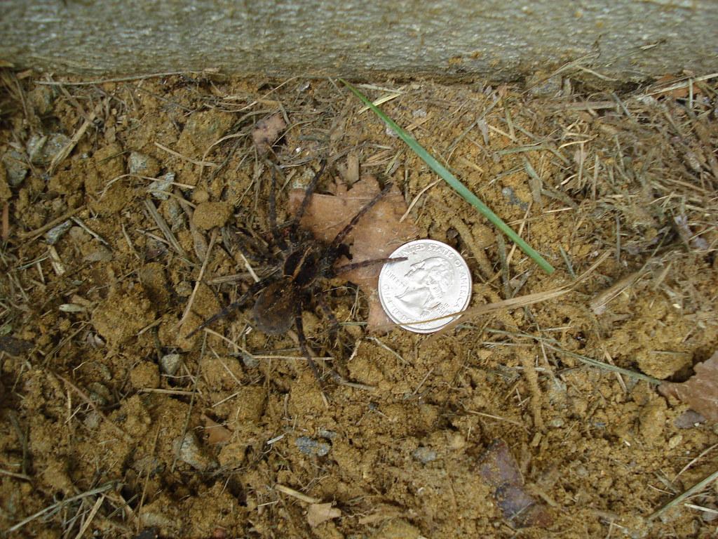 Baby tarantula, yuck