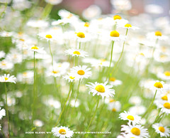 Dasiy Bokeh © Glenn E Waters (Explored).   Over 16,000 visits to this photo.  Thank you. (Glenn Waters ぐれんin Japan.) Tags: japan nikon bokeh explore daisy marguerite 夏 japon 118 f12 ボケ explored ニコン ヒナギク d700 nikond700 homersiliad ぐれん nikkor50mmaisf12 glennwaters travelsofhomerodyssey