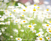 Dasiy Bokeh © Glenn E Waters (Explored).   Over 12,000 visits to this photo.  Thank you. (Glenn Waters ぐれんin Japan.) Tags: japan nikon bokeh explore daisy marguerite 夏 japon 118 f12 ボケ explored ニコン ヒナギク d700 nikond700 homersiliad ぐれん nikkor50mmaisf12 glennwaters travelsofhomerodyssey