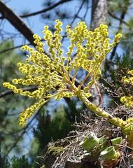Estaré unos días fuera por trabajo (Gomereta) Tags: flor amarilla bejeque gomereta