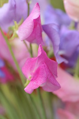 Sweet Peas by greenwoman46