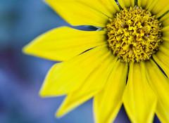 Flowerise (Mohammadtaqi.com) Tags: flower macro yellow canon is mark 4 mohammed 1d kuwait usm iv ef 28l q8 10mm taqi mtphoto ashkanani wwwmtphotonet