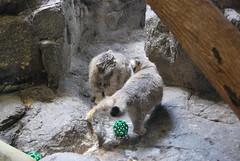 Pallas's Cat (thoth1618) Tags: park nyc newyorkcity brooklyn cat zoo prospectpark manul prospectparkzoo brooklynny pallascat nycpark brooklynusa pallasscat felismanul otocolobusmanul