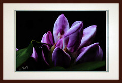 Rhodie Smudged 01 PA (Paddrick) Tags: flower art digital painting flora smudge paintshoppro wacom smudged rhodie paddrick paintograph nwexposures photooart