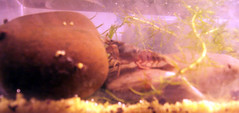 Crayfish_3 (MtnBkr2009) Tags: pets aquarium crab lobster crayfish cray freshwater crawdaddy craw crawdads