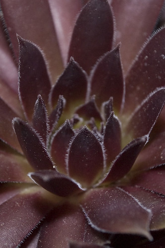 Sempervivum 'Cherry Tart'