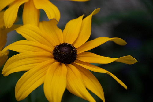 Black Eyed Susans - one of my favorites!