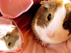 Narcissistic Balbinka (pyza*) Tags: pet cute animal guinea pig cavy critter piggie morska świnka balbinka