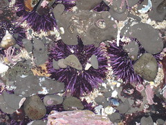 Bright purple sea urchins