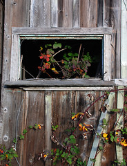 Framed (cormend) Tags: california wood abstract window barn vines nikon farm sonoma d80 cormend