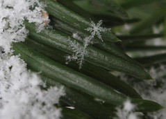 snow on a tree (stravenue42) Tags: snowflake snow cold tree ice snowflakes bush crystals branch crystal branches needle needles icecrystals treebranch icecrystal crystalin