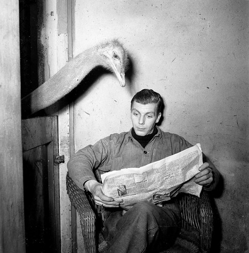 Artis struisvogel leest krant van oppasser / Ostrich reads newspaper of caretaker