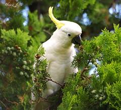 Sulphur-crested cockatoo (honeypestypie) Tags: birds sulphurcrestedcockatoo naturesfinest blueribbonwinner bej avianexcellence vosplusbellesphotos alittlebeauty dragondaggeraward
