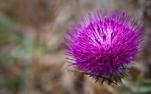 [フリー画像] 花・植物, キク科, アザミ, 紫色の花, 201004030900
