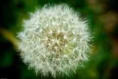 Blowball (IMGP2691) (Manu_H) Tags: flower nature fleur plante dandelion vegetal pissenlit taraxacum blowball vgtal raynoxdcr250 fa50f14 smcpfa50mmf14 aknesaigrettes
