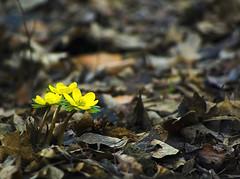 Early yellow (aGinger) Tags: winter yellow dead island early leaf hungary pentax budapest ground margaret aconite margitsziget sprong eranthishyemalis k10d tltemet