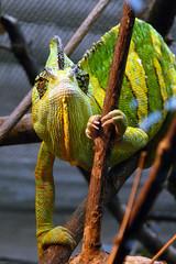 Zoo Wuppertal (.E.L.S.) Tags: zoo wuppertal chameleon chamleon jemen