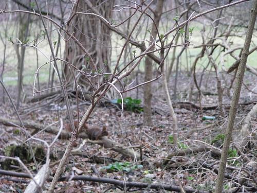 12-Pequeno esquilo entre galhos e o inicio do brotamento