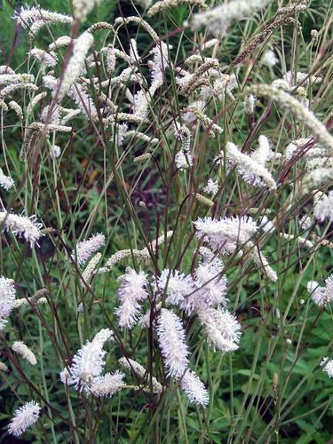 SANGUISORBA tenuifolia var. parviflora