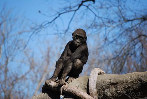 SS_Gorilla_Pose[2009]