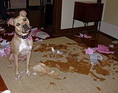 Little Helper (Chris Tirello) Tags: birthday dog mess tan pit bull explore terrier american present opening clover 42 earthanditsincredibleanimals