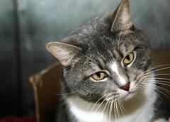 Rescued (eva101) Tags: cat kitten softie chubby furball tubby imasucker adoptasheltercat rescuedbyme