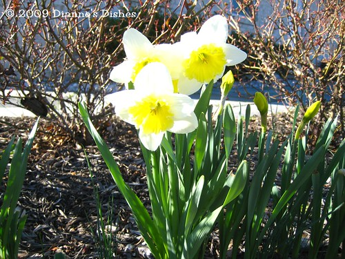 Garden Update One 2009: Daffodils