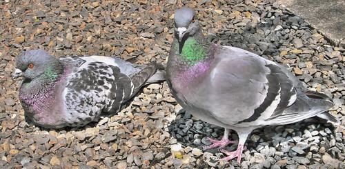 [HDR]Pigeons, Rokkakudo