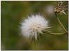 leggerezza... (Andrea Rapisarda) Tags: naturaleza flower macro nature closeup bokeh natura fiore leggerezza straightfrommycamera olympuse510 rapis60 andrearapisarda kunstplatzlinternational