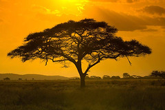 20080610_africa_04639 (Mountain Travel Sobek) Tags: acaciatree africa digital eastafrica