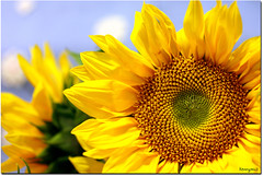 fibonacci's flower (kennymuz) Tags: nature yellow seeds numbers fibonacci sunflower sequence mathematic mathematician mywinners theunforgettablepictures platinumheartaward kennymuz