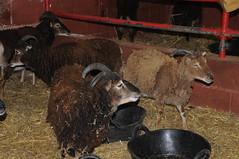 DSC_0824 (incurable_hippie) Tags: cute wool animals community sheep coat sheffield straw horns curly hay breed stable soaysheep heeleycityfarm
