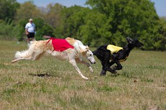Belle and Afghan Hound (BIF Race)