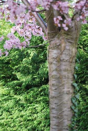 beautiful pink blossoms tree